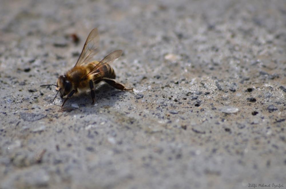 arı macro.jpg