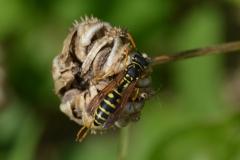 kurumuş bir çiçek ve arı.JPG