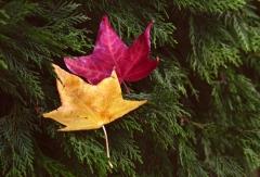 Ağaç üzerinde Sarı ve Kırmızı yaprak (asaleti renginde)