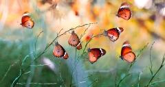 Sultan Kelebekleri