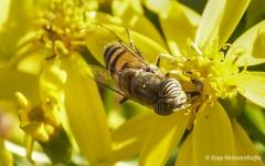 Çiçek BöcekDSC_0714.jpg