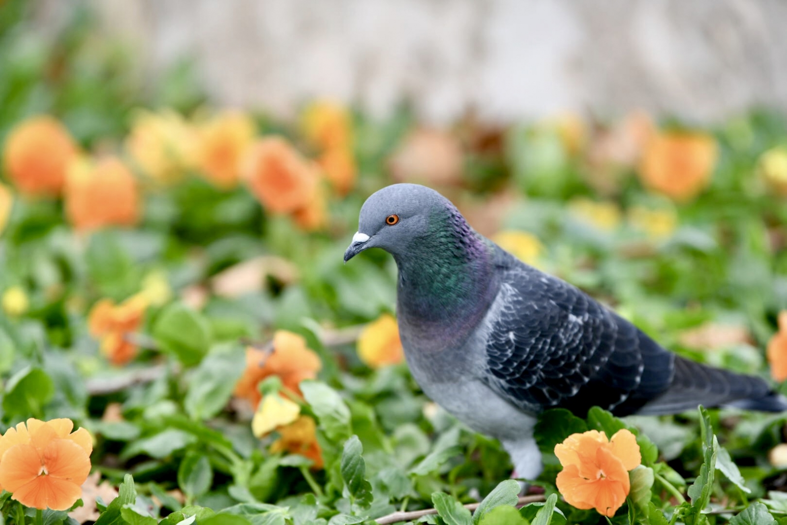 Yemek peşindeki güvercin