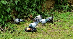 Bahçede güvercin