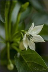 Biber çiçeği